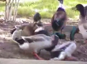Ducks take sexual violence to the next level